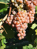 Chasselas Violet